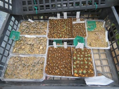 レウクテンベルギア・光山、2017年の自家採取種子を2020.09.22順調に発芽し大きくなっています。左列。2021.07.02