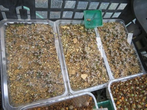 レウクテンベルギア・光山、2017年の自家採取種子を2020.09.22順調に発芽し大きくなっています。2021.07.02