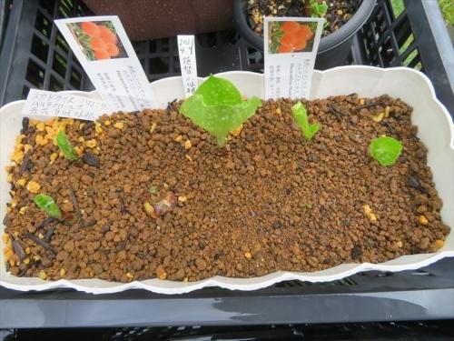 スカドクサス・ムルチフロスHaemanthus(Scadoxua)multiflorsu、半分腐った球根の回復はいかに~2021.04.09から3か月後ようやく芽出しのはじまり。2021.07.02