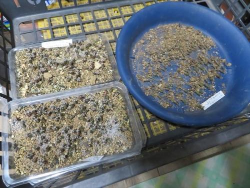 レウクテンベルギア・光山、2017年の自家採取種子を2020.09.22にまいておきました。ようやく1回目の移植準備中。2021.07.02