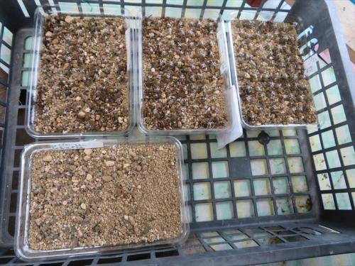 レウクテンベルギア・光山実生苗、移植完了しました。間引きせず、180苗ほどありそうです。ひぃ~2021.07.03