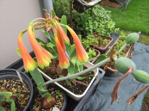 キルタンサス・オブリクス(Cyrtanthus obliquus)2021.07.14、別球根の開花花粉を交換しておくと種子ができました。