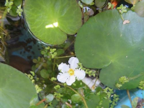 バナナプランツ、浮き水草、赤玉土に植えつけメダカビオトープの中で大きく育っています♪。地味な白花。2021.07.23
