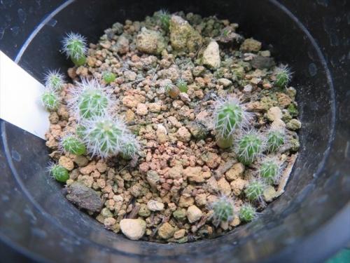 エキノケレウス・青花エビ(2020.08.31播種)秋に発芽した苗はやや大きめの苗です。以外は今春以降発芽してきました。春膜きした方が揃ったのかもしれないです。2021.08.02