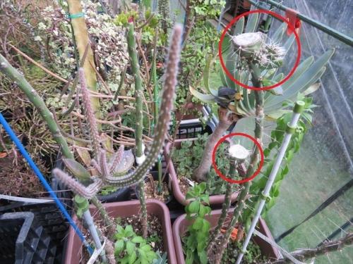 テフロカクタス・アレキサンデリー(Tephrocactus alexanderi v bruchii)胴切り後1ヶ月半経過片方は子吹きしています。2021.08.05