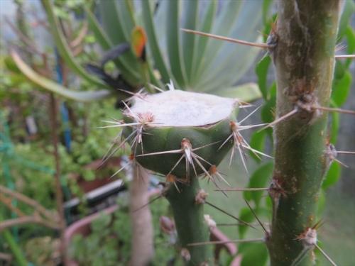 テフロカクタス・アレキサンデリー(Tephrocactus alexanderi v bruchii)胴切り後1ヶ月半経過、片方は子吹きまだです。2021.08.05