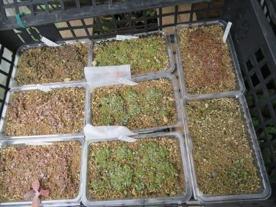 リトープス自家採取実生苗(2020.09.22)植え替えしていないから大きくならないでいます。2021.08.06