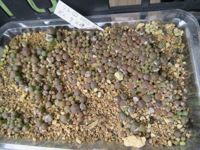 リトープス自家採取実生苗、灰色系?(2020.09.22)植え替えしていないから大きくならないでいます。2021.08.06