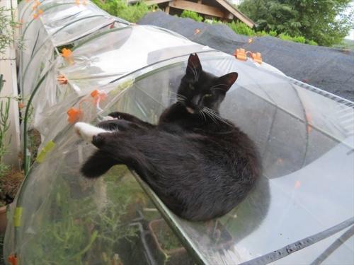 白靴下を履いたノラ黒猫ちゃん、顔を見ればにゃ~にゃ~鳴いている鳴き猫です。2021.08.08