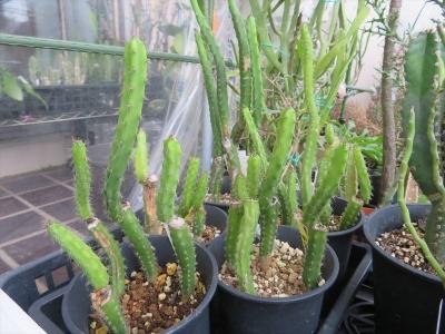 ハリシア(Harrisia sp.)2017.09.15実生苗、台木用に播種してスルコレブチアを接ぎました。すべて失敗でした。ひぃ~2021.08.08