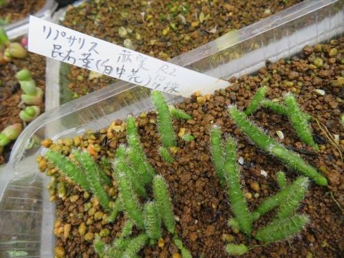 レピスミウム・クルシフォルメ(昆布葉、白花、赤実、自家採取種子実生2020.10.07)、10ヶ月経過姿。2021.08.13
