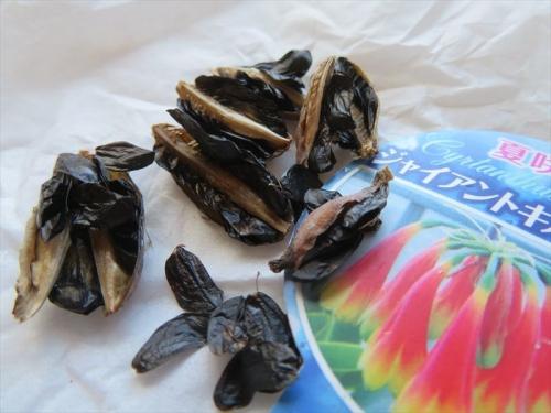 キルタンサス・オブリクス、中から黒い外層種皮にくるまれた種子がたくさんできていました。2021.08.19
