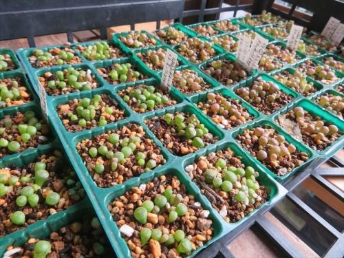 リトープス①茶系②緑系(自家採取種子)、実生(2020.09.21)苗、3cmセルポットに植え替え(2021.08.11)から3週間弱経過しました。2021.08.30