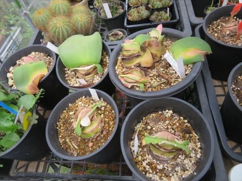 赤花マユハケオモト(常緑葉タイプ)雨のかからない軒下棚上に置いて、水切れて葉が枯れていましたが花芽が皆出来ています。2021.09.08