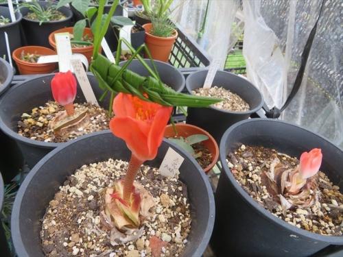 赤花マユハケオモト(落葉タイプ)雨のかからない軒下棚上に置いて、休眠期葉が枯れていましたが、同時花芽が先にちゃんと動きみな開花しそうです。2021.09.08