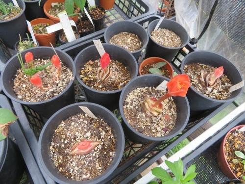 赤花マユハケオモト(落葉タイプ)雨のかからない軒下棚上に置き、夏季落葉休眠していました。休眠開け葉芽より先の同時花芽がみな出ました。2021.09.08