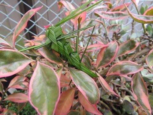美葉杢キリン♪&シランの葉で作ったバッタちゃん♪2021.09.08