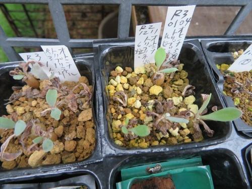 オトンナ・トリブリネルビア、自家採取種子実生苗(2020.12.11)~結構発芽してきました♪2021.01.31~7ヶ月ほど経過、夏越後021.09.14