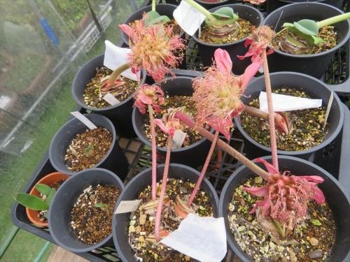 ハエマンサス コッキネウス(Haemanthus coccineus)赤花マユハケオモト(夏季落葉タイプ)。別花同士花粉交換すると実ができました。♪2021.09.25