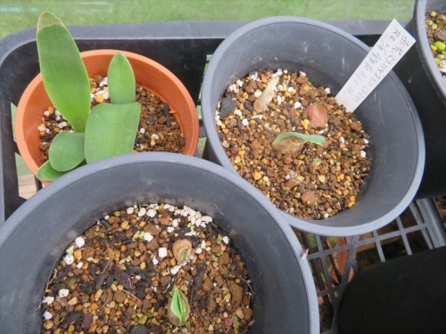 赤花マユハケオモト実生苗、2020.02.09こぼれ種子発芽、鉢上げ苗の姿。2021.09.25