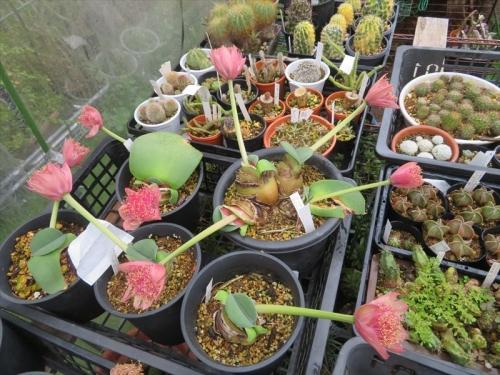 ハエマンサス アルビフロス×コッキネウス(Haemanthus albiflos× coccineus)モモイロハナ マユハケオモト(常緑葉タイプ)こちらの種子はまだ確認できていません。2021.09