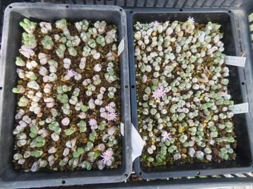 コノフィツム エクティプム、小型やや凸凹ボディー淡ピンク花、バラバラにして挿し木更新苗もポチポチ開花中。2021.10.05