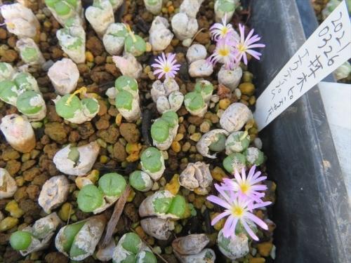 コノフィツム エクティプム(淡ピンク花)白い脱皮皮のまま開花中♪2021.10.05