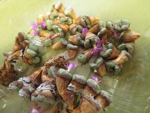コノフィツム古群生株、悩みましたがこの際株の更新一粒2粒木質化した茎を際まで切り戻し更新挿し木します。2021.10.08