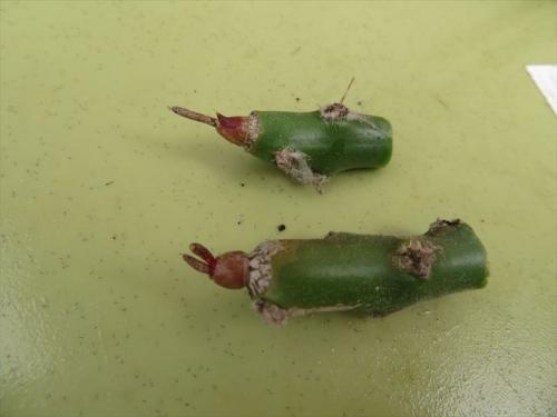 アストロフィツム カプトメデューサエの接ぎ穂は1年経過しても成長しないので、このまま埋めてダメもと挿し木します。2021.10.09