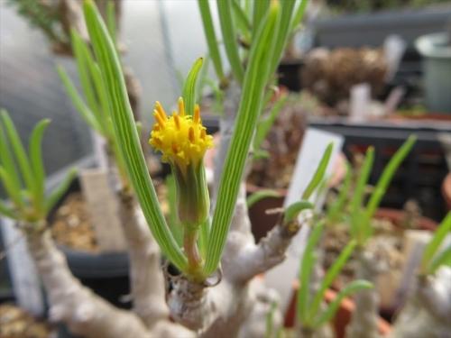 セネシオラティキペス(Senecio laticipes)、冬型塊茎多肉、セネシオな黄色い花がなぜか1か所咲いています。