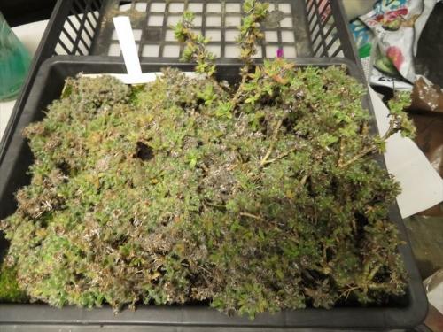 トリコディアデマ・紫晃星(Trichodiadema densum)2018.08.30実生苗、植えっぱなしで3年経過,根詰まりがひどいので植え替えします。2021.10.12