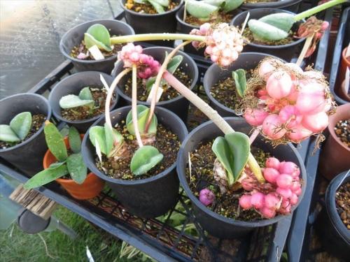 ハエマンサス コッキネウス(Haemanthus coccineus)赤花マユハケオモト(夏季落葉タイプ)。実(種子)が膨らみ熟れてぽろぽろ落ちてきます。♪2021.10.14