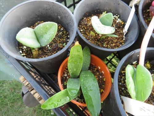 赤花マユハケオモト、自家採取種子実生苗、2020.02.09こぼれ種子発芽確認苗、1年8か月経過。2021.10.14