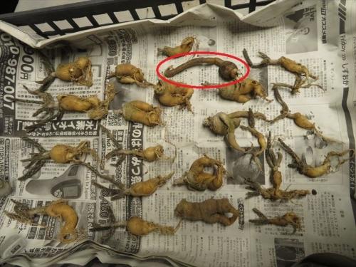 プテロカクタス・黒竜(Pterocactus tuberosus)、プナ・白鶏冠、茎節が伸びず調子が悪いので抜いてみました。2021.10.15