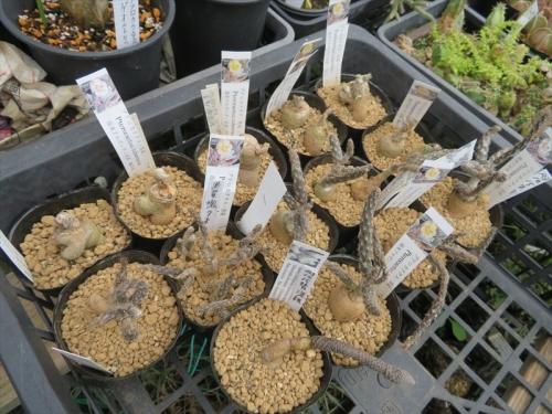 プテロカクタス・黒竜(Pterocactus tuberosus)、プナ・白鶏冠、茎節が伸びず調子が悪いので抜いて植え替えしました。2021.10.15