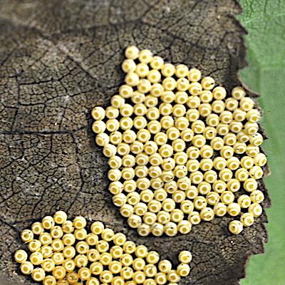 ヒメシロモンドクガの卵塊