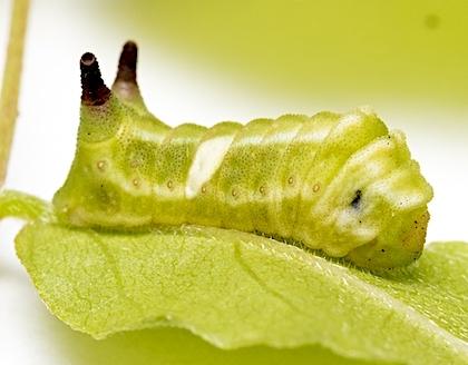 ウラギンシジミの幼虫の側面