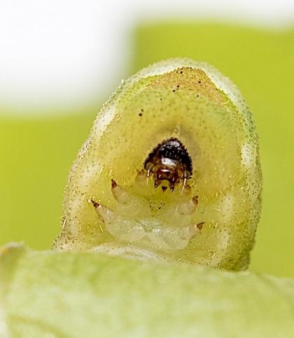 ウラギンシジミの幼虫の顔