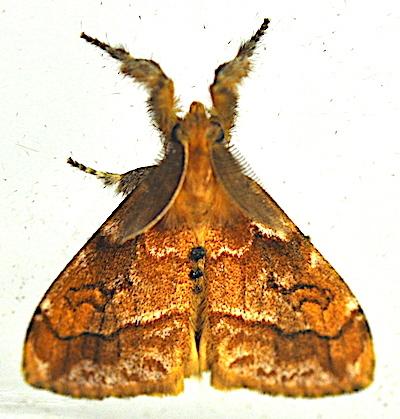 マメドクガのオス成虫